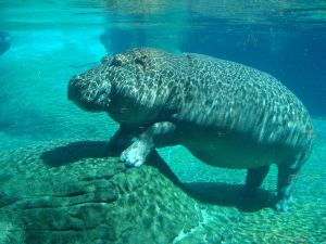 A hippo from San Diego zoo